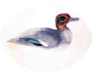 Green Winged Teal - John James Audubon Oil Painting