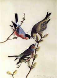 A Chaffinch, Bullfinch and Greenfinch on a Branch of Budding Chestnuts - John James Audubon Oil Painting
