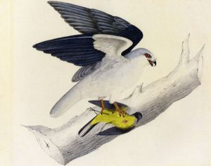 White-tailed Kite - John James Audubon Oil Painting