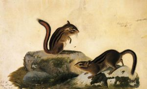 Two Ground Squirrels - John James Audubon Oil Painting